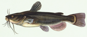 Black Bullhead Catfish catfish What is a catfish? Ameiurus melas by Duane Raver 300x128