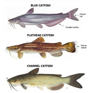 Blue Catfish, Flathead Catfish and Channel Catfish catfish species and habitats Catfish species and habitats CATFISH SPECIES 298x300